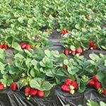 Выращивание клубники круглый год: в теплице, в домашних условиях, по голландской технологии